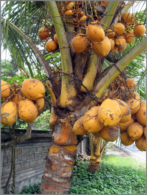 Coconut Tree Information Hindi (Essay) : नारियल के पेड़ की जानकारी